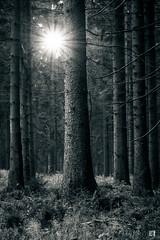 (lotl.axo) Tags: trees sunset blackandwhite bw plants nature forest germany landscape deutschland thüringen woods sonnenuntergang sundown natur pflanzen sw landschaft wald bäume spruce fichte rennsteig thüringerwald schwarzweis