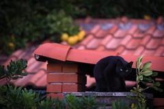Gatto_nero (Danilo Mazzanti) Tags: photography foto photos tetti felino fotografia gatto fotografo danilo fotografare mazzanti gattonero danilomazzanti wwwdanilomazzantiit