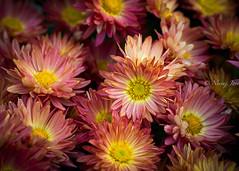 The Blooming Life (njain73) Tags: morning november flower colour water closeup 50mm fresh dew chrysanthemum freshness