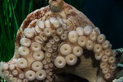 octopus (j j miller) Tags: california water animal aquarium coast monterey education tank montereybayaquarium montereybay science learning octopus hwy1 sustainability californiacoast tentical