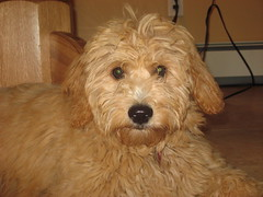 daisy-at-5-months--shes-one-of-ginger-and-chewys-little-girls-_3815200530_o
