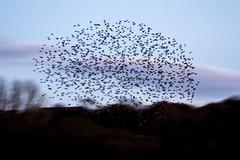 Brockholes November 2016-8311-2 (James Carlsson) Tags: d7200 starling brockholes nikon tamron 150 600mm murmuration