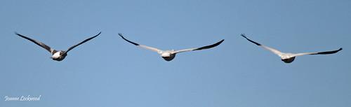 Snow Geese goodbye