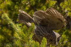 Dive, dive (ChicagoBob46) Tags: greatgrayowl owl yellowstone yellowstonenationalpark nature wildlife