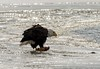 Eagles 1.7.17-13 (alan.forshee) Tags: bald eagles juvenile mature feeding playing tustling flight ice winter bird prey raptor beauty snow tree fish