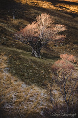 An old tree (creyala) Tags: tree scotland wester ross grass light lightroom spotlight nikon d7000 nature wilderness landscape