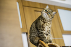 Look (BWCK Photography) Tags: kafi cat kitten brown exotic shorthair garfield cute funny lover