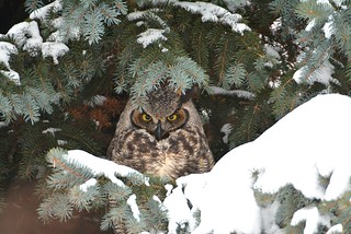 Grand duc d'Amérique / Great horned owl