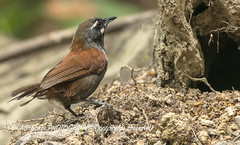 BLACK-THROATED BABBLER (@ChangLam PHOTOGRAPHY) Tags: bird animal changlamphotography photographychanglamphotographymalaysia babbler blackthroatedbabbler