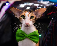 Hippy (charissa1066) Tags: cat green bowtie holidays orientalshorthair greeneyes merrychristmas happyholidays bow christmas ears kittysuperstar