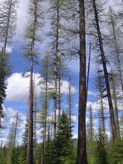 Larches and Cumuli (Rock Water) Tags: larch tamarack talltrees