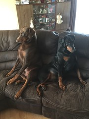 Sitting Down On The Sofa After Their Walk - Doberman Pinschers Zeus and Gabbana (firehouse.ie) Tags: girl boy german tan black brown red female male canine k9 dogs dog pinscher pinschers doberman dobermanns dobermann dobermans dobie dobies dobes dobeys dobey dobe gabbana zeus