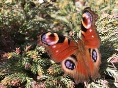 Dans mon jardin aujourd'hui ! Paon du Jour (Aglais io)/ In my garden today (Annelise LE BIAN) Tags: papillon insectes animaux aglaisio paondujour coth coth5 closeup sunshine sunrays5 alittlebeauty