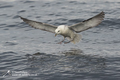 34 fulmar (Neil Phillips) Tags: beak black blue dark eyes face feathers flapping flight flippers fly flying foot fullbody gray grey greybackground head land landing legs light marine mouth nose ocean onwater sea stopflying stretchingout surface underwing white wholeanimal wing yorkshire