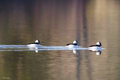 Buffled (Apfhex) Tags: duck birds springlake sonomacountyregionalparks bufflehead
