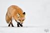 DSC_8177-Modifier-2 (Maxime Riendeau) Tags: canada fox hiver neige quebec québec redfox renard renardroux snow winter