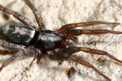 JAB0526 (Joseph Berger Photos) Tags: easternparsonspider herpyllusecclesiasticus macro parsonspider spider