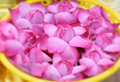 Pink Beauties (Fiqri) Tags: pink lotus water yellow offerings bloomed beautiful