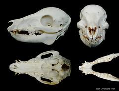 Crâne de Marcassin / Wild Boar Cub Skull (Sus scrofa) (JC-Osteo) Tags: ostéologie osteology jctheil squelette skeleton skull crâne bone bones suidae sus susscrofa sanglier marcassin piglet wildboarcub boar skelett wildboar