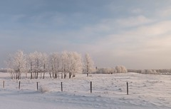 Some day (Tracey Rennie) Tags: landscape horses snow frost winter alberta cochrane fence 20c hoarfrost white