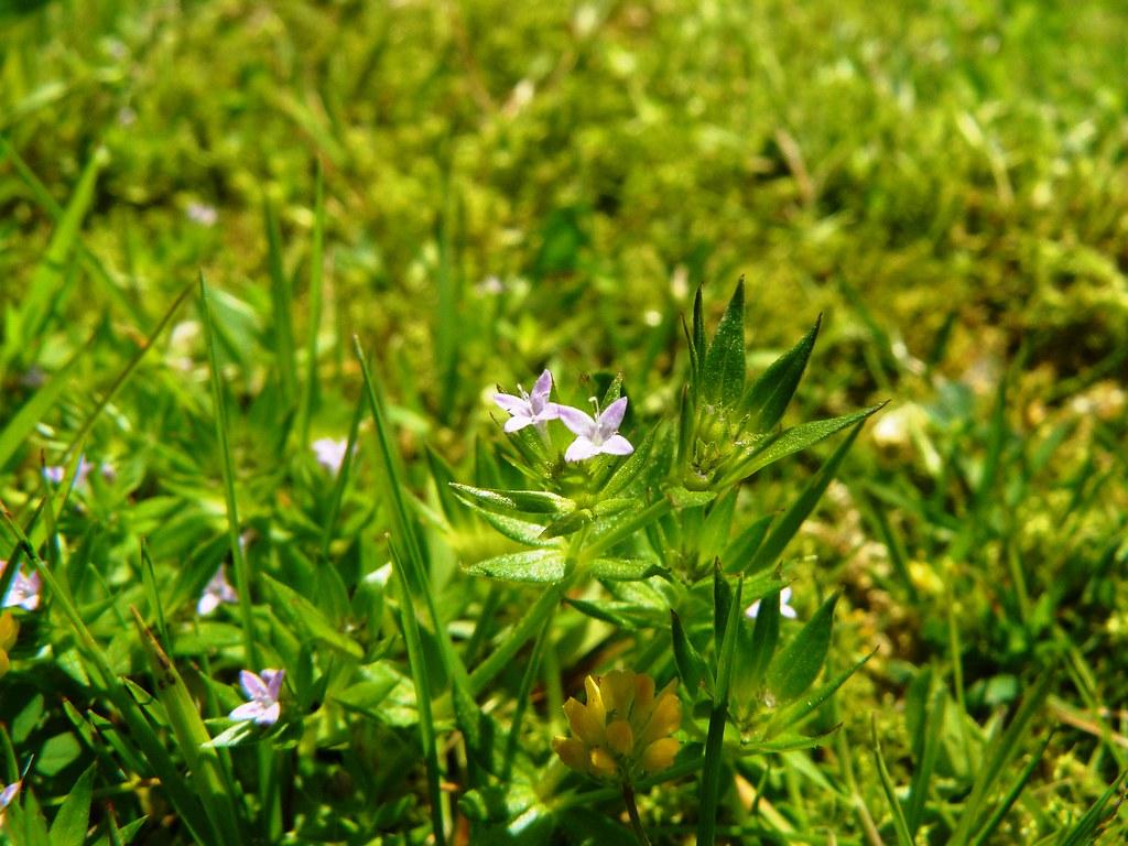 Sheradia arvensis-7