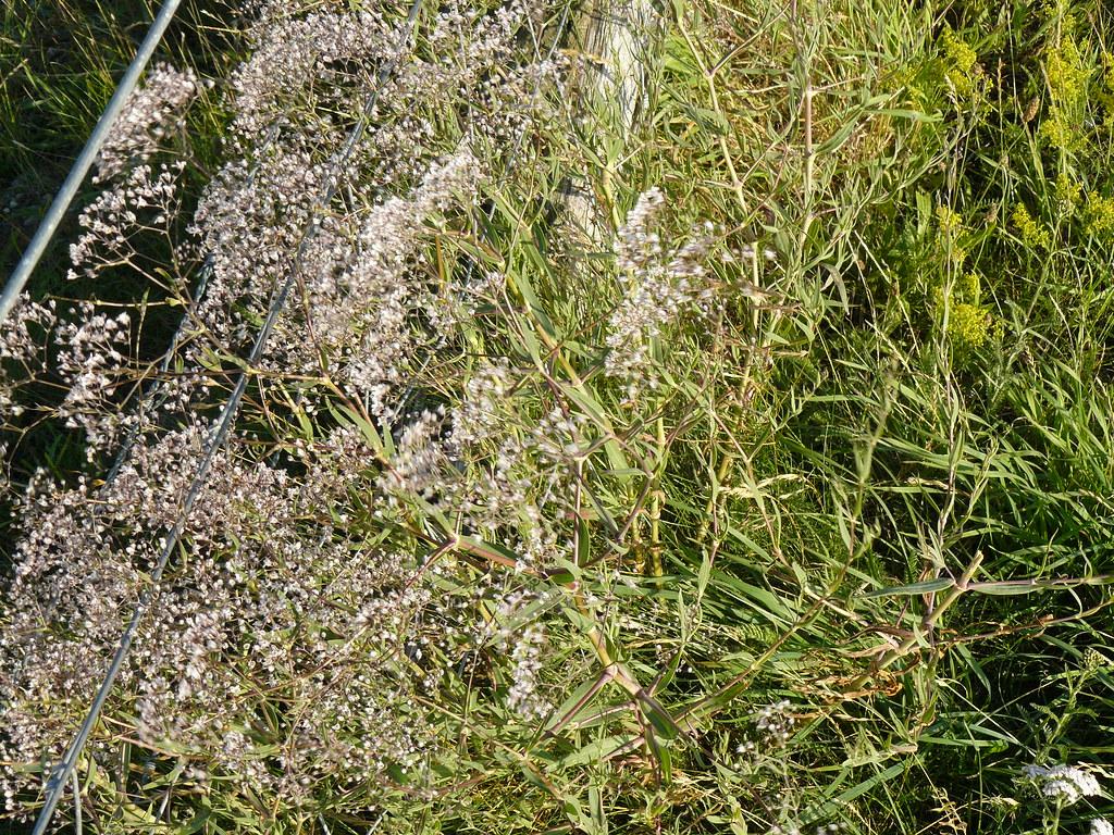 Gypsophylla3 (2)