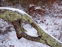 Foxboro Cranberry Bogs 12 (dennisgg2002) Tags: foxboro massachusetts ma cranberry bogs winter new england snow landscapes