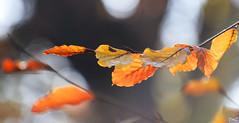 Bokeh d'automne (thierrymazel) Tags: automne autumn bokeh feuille leaf leaves jaune profondeur de champ