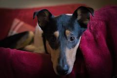 'Love me' eyes Bigby! (Hanwombat) Tags: dog smooth collie tri col eyes
