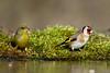 Chardonneret élégant Carduelis carduelis - European Goldfinch (Julien Ruiz) Tags: chardonneret élégant carduelis european goldfinch verdier deurope chloris greenfinch