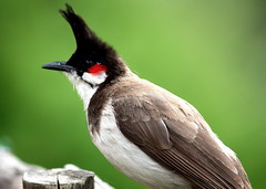 Indian BulBul (Indian Nightingale) (keedap) Tags: birds robin jay small coonoor india ooty bangalore deepak