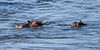 Saved! (Duncan Blackburn) Tags: 2017 kruger ngwenya southafrica hippo mammal crocodileriver nikon nature wildlife