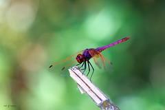 Une rouge (jpto_55) Tags: insecte libellule odonate macro bokeh xe1 fuji fujifilm hautegaronne france