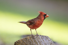 Northern Cardinal Male (Peter Stahl Photography) Tags: cardinal northerncardinal male hawaii maui red outdoors bird