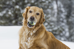 I'm so happy...I have my ball AND snow! (Exdeltalady) Tags: golden goldenretriever snow winter ball tennisball outdoor bigbearlake ca dog canine mansbestfriend