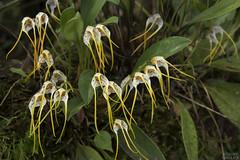 Orchid (ggallice) Tags: guandera jatunsacha carchi ecuador andes mountains cloudforest bosquenublado orchid orchidaceae