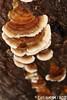 Trametes versicolor (L.) Lloyd 1921 (Luís Gaifém) Tags: trametesversicolor polyporaceae turkeytail kawaratake yunzhi luísgaifém macro natureza nature fungi fungo cogumelo mushroom folón galiza