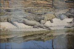 Crocoloco-IZE-063 (Zachi Evenor) Tags: zachievenor israel crocoloco crocolocofarm crocodilefarm crocodiliansfarm crocodile nilecrocodile crocodylusniloticus crocodylus niloticus crocodilia crocodilians haarava riftvalley צחיאבנור ישראל קרוקולוקו חוותקרוקולוקו חוותתנינים חוותתנינאים תניןהיאור תנין היאור תנינים קרוקודיל קרוקודילים תנינאים הערבה 2017 hatzeva 20170221