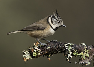 Crested Tit_MG_0919