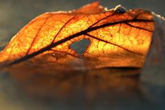 fragments (joy.jordan) Tags: leaf texture light ice frozen puddle sunrise transition bokeh