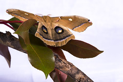 Polyphemus Moth (heeeerod) Tags: moth butterfly insect macro close white beauty spring marco lol