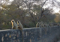 India (Ranthambhore National Park) Long tail and black face langus monkeys getting benefit of last sun rays (ustung) Tags: india ranthambhore nationalpark monkey langusmonkey landscape nikon sunset