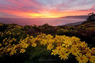 Malibu Bloom