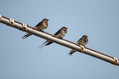 Three barn swallows (P.Ebner) Tags: bird barn wildlife natura swallow birdwatching uccello rondine rustica hirundo narture