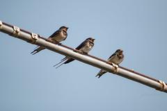Three barn swallows (P.Ebner) Tags: bird barn wildlife natura swallow birdwatching uccello rondine rustica hirundo narture