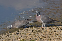 Cheep Facial Mudpack (paulinuk99999 - just no time :() Tags: wood uk bird water river mud stuck drink none pigeon gloucestershire severn paulinuk99999 sal70400g