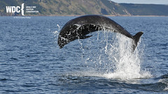 _7D20801 (Charlie S Phillips) Tags: dolphin wildlife phillips watching conservation wdc charlie moray firth bottlenose tursiops truncatus