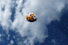 Coccinelle (BPBP42) Tags: animal ladybird insecte