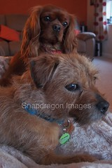doggies (Snapdragon Lincs) Tags: dog pet animal warm king border charles cheeky terrier sleepy spaniel cavalier ruby comfort theboss snuggly