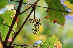 Vintage is over (ISO 69) Tags: vintage herbst harvest impressions impressionen wein trauben weinlese rebe